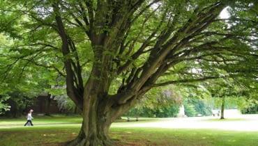 Nieformowany, swobodnie rosnący grab z wiekiem rozrasta się w rozłożyste i bardzo malownicze drzewo. Jego największą ozdobą jest gładka kora i powyginany pień
