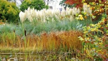 Trawy ozdobne. Wspaniałe puszyste wiechy trawy pampasowej sprawiają, że jest ona prawdziwą gwiazdą jesiennych ogrodów