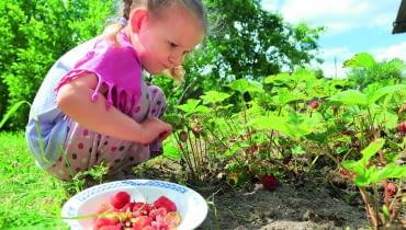 Owoce zbieramy po upływie okresu karencji użytego preparatu.