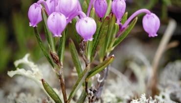 Różowe kwiaty modrzewnicy zwyczajnej mają kształt zwisających dzbaneczków. Pojawiają się w maju i pozostają na krzewinkach do czerwca