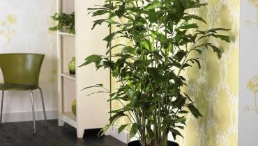 Buschige Fischschwanzpalme (Caryota mitis) SLOWA KLUCZOWE: Dekoration Palme Palmen Pflanze Pflanzen Visions Zimmer-Pflanzen Zimmerpflanze Zimmerpflanzen Innenaufnahme Innenaufnahmen Studioaufnahmen drinnen quadratisch