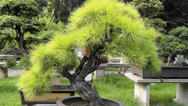 Takie bonsai z sosny można uzyskać po latach starannej pielęgnacji i formowania.
