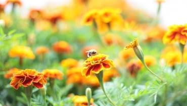 Niezawodne aksamitki przyciągają pszczoły.