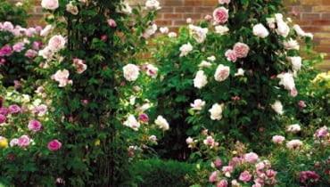 Odmiana 'St. Swithun Climbing' to róża pnąca. Osiąga około 2,5 m długości. Nadaje się do sadzenia przy bramkach i trejażach