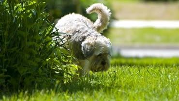 'Podlewając' ogrodowe murki i krzaczki pies zaznacza swoje terytorium.