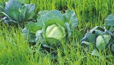 Kapusta rośnie na młodym zbożu, które po zbiorze warzyw zostanie przekopane z ziemią jako zielony nawóz.