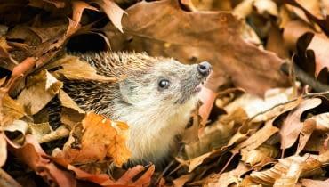 Jeże zimują pod stertami liści, siana lub drewna. Nie należy ich niepokoić, by się nie obudziły.