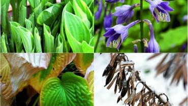 <b>wiosna:</b> Funkia budzi się w kwietniu. Pojawiają się wówczas jej zwinięte w ostre stożki liście. Powoli rozwijają się i zmieniają, tworząc zielone lejki.<p> <b>lato:</b> W lipcu ukazują się dzwonkowate kwiaty osadzone na sztywnych łodygach. Są liliowe, niebieskie lub białe, u niektórych odmian przyjemnie pachną.<p> <b>jesień:</b> We wrześniu, z nadejściem zimnych nocy, liście funkii zaczynają się złocić. Potem warzy je pierwszy przymrozek i najlepiej je usunąć. <p> <b>zima:</b> Nad kopczykiem ziemi, który skrywa podziemne części rośliny, jak husarskie skrzydła wznoszą się łodygi z brązowymi pękniętymi owockami.