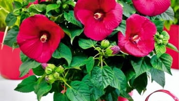 Hibiscus Guido Red