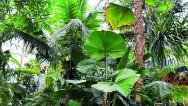 Pod koronami palm, takich jak: Pritchardia, Licuala, palma kokosowa, a także bambusów idracen rozrosły się anturia, kalatee, stromante iinne tropikalne gatunki.