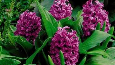 Hiacynt (Hyacinthus). Kwiaty cebulowe