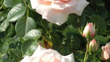 Róża pnąca 'New Dawn'