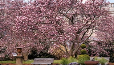 magnolia, 'Rustica rubra' to silnie rosnąca odmiana magnolii Soulange'a o rozłożystej koronie.