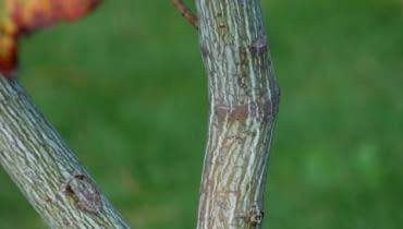 Klon pensylwański (Acer pensylvanicum)