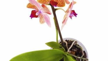 U Falenopsisa nektarniki znajdują się też poza kwiatami - na łodygach i liściach. Dlatego pojawiają się tam słodkie krople