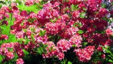 Azalia. Różowo kwitnąca 'Norma' dorasta do półtora metra.
