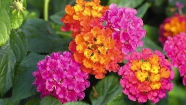 nowości kwiatowe, kwiaty na balkon, Lantana Calippo 'Tutti Frutti'
