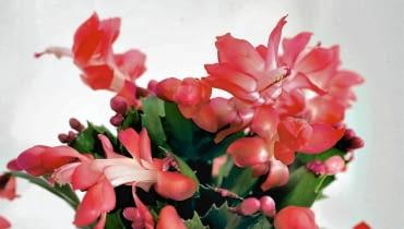 Nazywa się grudzień, ale jest też znany jako grudnik, szlumbergera, kaktus bożonarodzeniowy albo zygokaktus. Przybył z gorącej Brazylii z misją ożywienia ponurych zimowych miesięcy. <BR />Roślina ta nie lubi zmieniać miejsca. Nie należy jej więc przestawiać, zwłaszcza gdy zbliża się okres kwitnienia - może bowiem zrzucić pąki kwiatowe.
