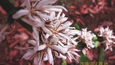 KWIATY KAWY są drobne, ale liczne i mają zapach podobny do kwiatów pomarańczy.