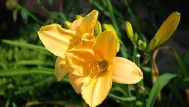 Liliowiec 'Stella de Oro'