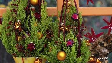 Zypressengesteck: 5/5 Cupressus macrocarpa 'Goldcrest' / Zypresse Cornus / Hartriegel, Citrus / Orangenscheiben Christbaumschmuck, rote Sterne SLOWA KLUCZOWE: GAP Weihnachtsbaumkugeln Stepabfolge Praxis mini Weihnachtsbaum rot gold ZZZ hoch Topf weihnachtlich Weihnachten Dekoration Cupressus macrocarpa Cupressus innen Gesteck Floristik Fenster 000 Advent