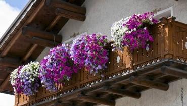 Surfinia, kwiaty balkonowe