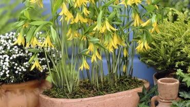 01A9564D - Uvularia grandiflora