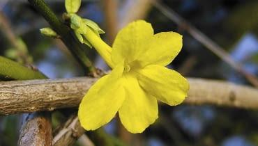 jasminowiec