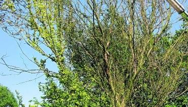 Okaz porażony przez holenderską chorobę wiązów już latem w błyskawicznym tempie traci liście.
