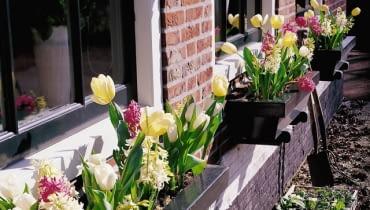 Kwiaty cebulowe: hiacynty i tulipany w pastelowej kolorystyce. W zacisznych, słonecznych miejscach rośliny zakwitają znacznie wcześniej