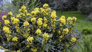 01ACDGYV - Mahonia aquifolium SLOWA KLUCZOWE: {$kwd}