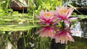 Stitched Panorama SLOWA KLUCZOWE: nénuphar fleur flore bassin aquatique inflorescence jardin reflet bassin d'agrément agrément floraison pétales eau biotope
