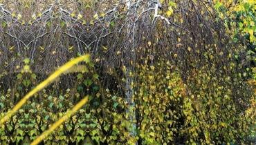 BRZOZA BRODAWKOWATA 'YOUNGII' (Betula verrucosa) traci jesienią liście, odsłaniając malownicze białe gałęzie i pień