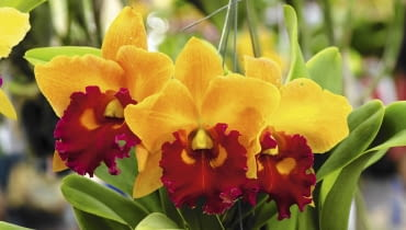 'Yellow Royalty' w słonecznej żółci z kroplą czerwieni.
