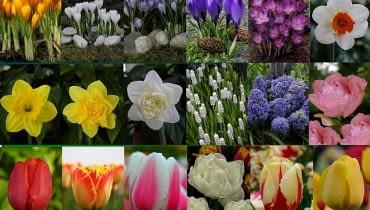 kwiaty cebulowe - konkurs