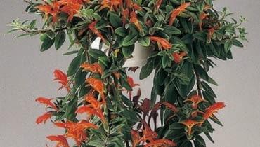 Kolumnea najlepiej rośnie w wiszących doniczkach. Jej pędy skracamy po kwitnieniu.