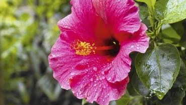 Róża chińska (Hibiscus rosa-sinensis) porażona przez plamistość liści słabiej rośnie.