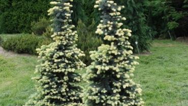Świerk kłujący (Picea pungens) 'Białobok'. Iglaki