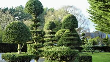 Przycinany cis fantastycznie się zagęszcza. Można z niego formować dowolne bryły. Tę cechę doceniali już twórcy barokowych ogrodów w Europie.