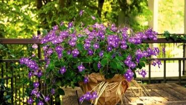 Takie dorodne skrętniki 'Blue Fountain' pojawiają się w kwiaciarniach na początku lata. Na cienistym balkonie kwitną i kwitną... Wystarczy czasem podlać je roztworem nawozu.