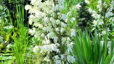 Dzwonkowate kwiaty juki zebrane są w wiechy kwiatostanów.