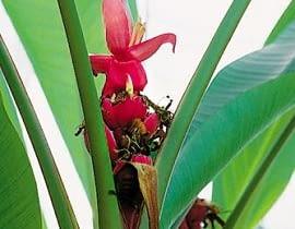 Bananowiec w doniczce szybko rośnie. Po kilku latach zakwita. Jego kwiatostan początkowo wznosi się do góry, później stopniowo zwiesza się pod własnym ciężarem. Owoce odmian karłowych są niewielkie, długości 6-8 cm.