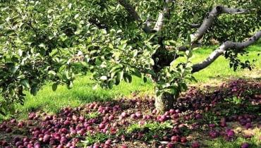Jesienią spady owoców trzeba starannie zbierać. Porażonych owoców nie kompostujemy, by nie roznosić chorób