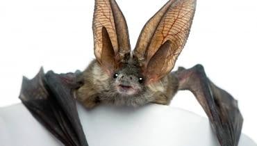 Nietoperzy nie wolno wybudzać z hibernacji, bo osłabione nie doczekają wiosny.