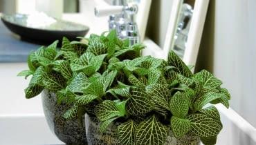 Fitonia. Ta niewielka roślina z dekoracyjnymi liśćmi zmieści się nawet na niewielkiej półce. Można ją również uprawiać w szklanych kulach lub słojach.
