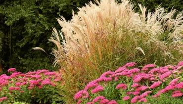 Jesienią kwiatostany miskantów wyglądają jak delikatne srebrzyste piórka. Długo opierają się niszczycielskiej sile wiatru.