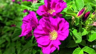 Dla takich pachnących kwiatów warto pielęgnować nawet stare okazy róży pomarszczonej.