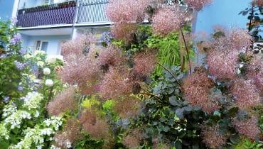 Okazały Perukowiec w czerwcu zachwyca mgławicą kwiatów.