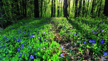 Leśny dywan z barwinka zdobi delikatny deseń błękitnych kwiatków.