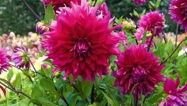 SLOWA KLUCZOWE: cebule cebulki cnb holandia karpa karpy kwiat kwiaty JOCONDO - Decoratief